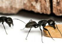 04 Técnicas de se Livrar das Formigas Andarilhas