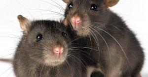 3 Melhores Venenos para Ratos Certamente Infalíveis