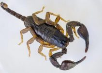 8 Remédios Caseiro para Matar Escorpiões