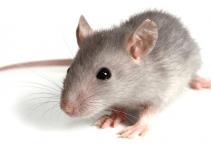 A Dedetização de Ratos ou Desratização