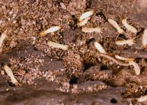 Como identificar uma infestação de cupim em casa