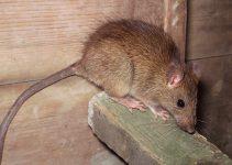 Conheça as Doenças Transmitidas pelos Ratos