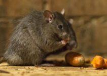 Conheças as Doenças Causadas por Ratos