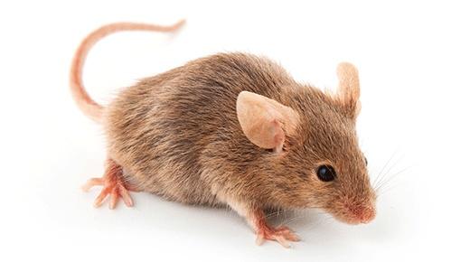 Dedetizadora de Rato
