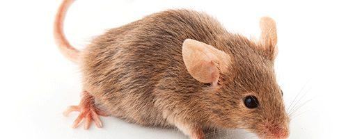Dedetização de Rato