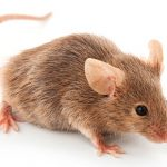 Ratos