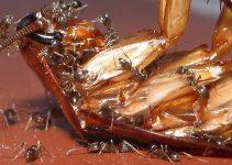 Doenças Transmitidas pelas Formigas