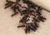 Formigas por Toda a Parte Veja como Acabar com Elas