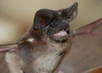 Quais Doenças os Morcegos Transmitem?