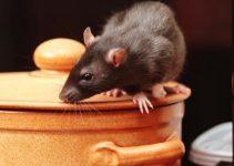 Ratos Como é que Posso ter Roedores na Minha Casa
