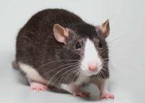 Como é Feito o Controle de Ratos por uma Dedetizadora?