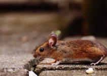 Desratização é a Solução Definitiva para Eliminar os Ratos
