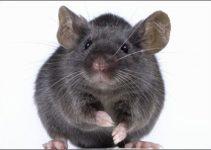 Veja os Mitos E Verdades Sobre Ratos
