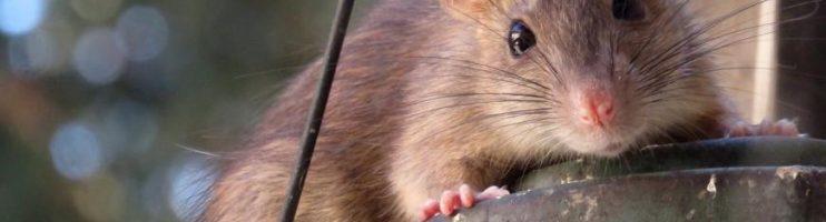 Desratização – Como Eliminar Ratos Dentro Do Forno Do Fogão?